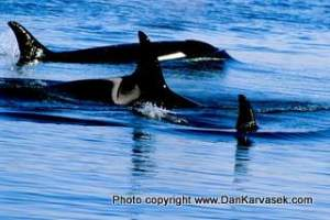 Orcas Cruising Puget Sound